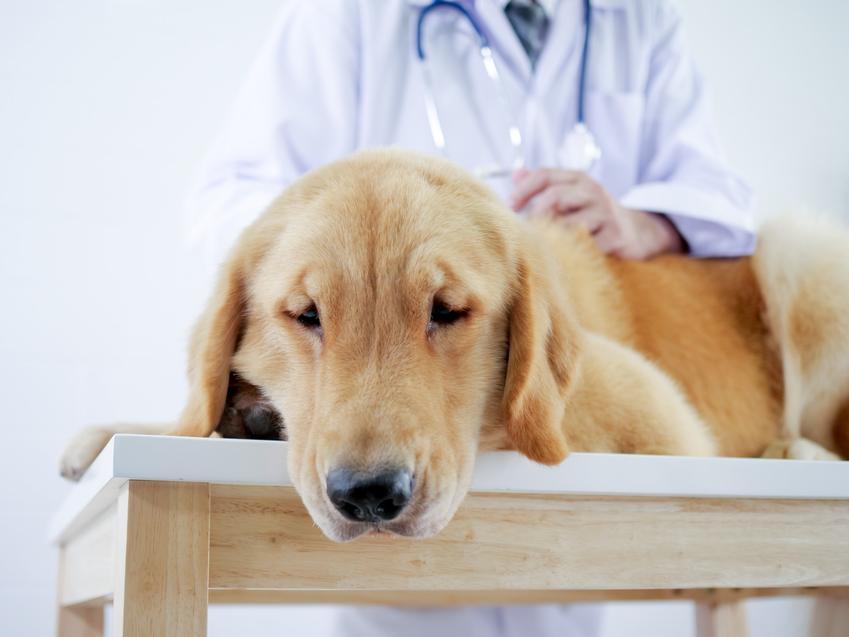 Pies na stole u weterynarza, a także objawy skrętu żołądka u psa i leczenie