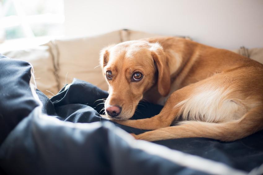Chory pies leżący na posłaniu, a także objawy skrętu żołądka u psa i ich leczenie