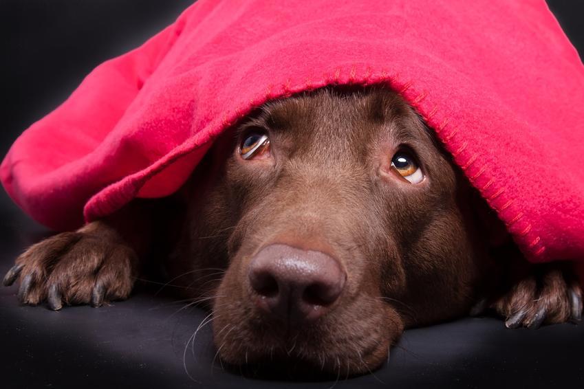 Pies pod czerwonym kocem, a także porady i informacje, dlaczego pies się trzęsie
