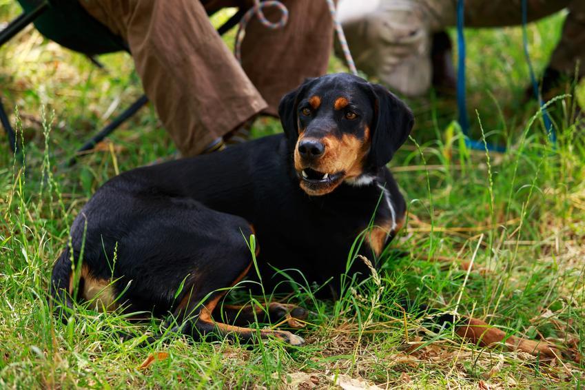 Pies rasy gończy słowacki siedzący na trawie, a także jego usposobienie, cena i hodowla