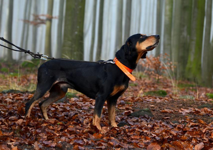 Pies rasy gończy słowacki w czasie spaceru w lecie, a także jego charakter i opis