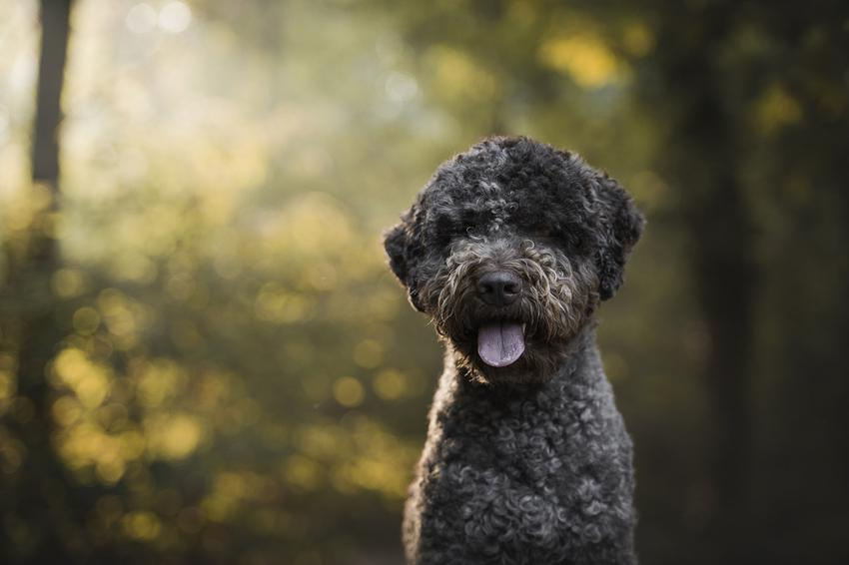 Pies rasy lagotto romagnolo na tle zieleni, a także hodowla lagotto romagnolo w Polsce i cena za szczeniaki