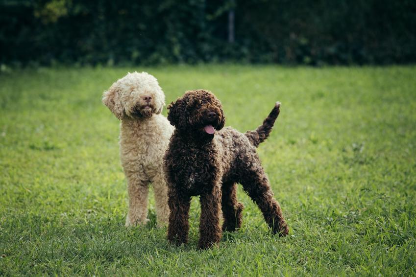 Psy rasy lagotto romagnolo na trawie, a także hodowla lagotto romagnolo w Polsce, szczeniaki i cena