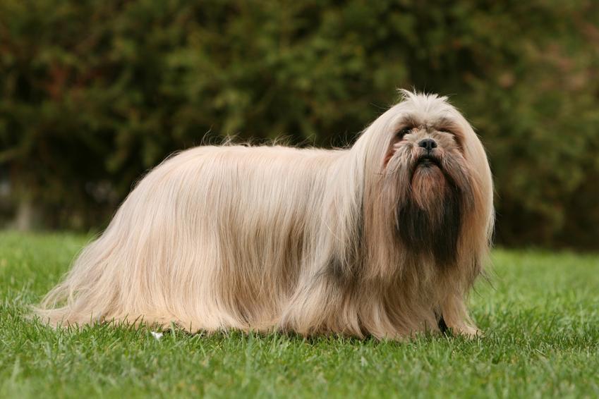 Pies rasy lhasa apso na tle zieleni, a także hodowla lhasa apso w Polsce i cena za szczeniaki