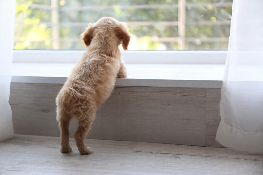 Szczeniak wyglądający przez okno oraz porady, jak wychować szczeniaka