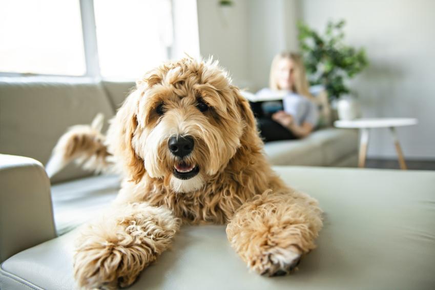 Szczeniak na kanapie w salonie oraz wskazówki, jak wychować szczeniaka, by był posłuszny