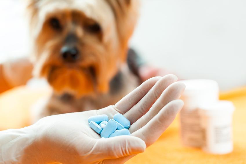 Pies oraz garść niebieskich tabletek, a także odrobaczenie psa i przydatne informacje