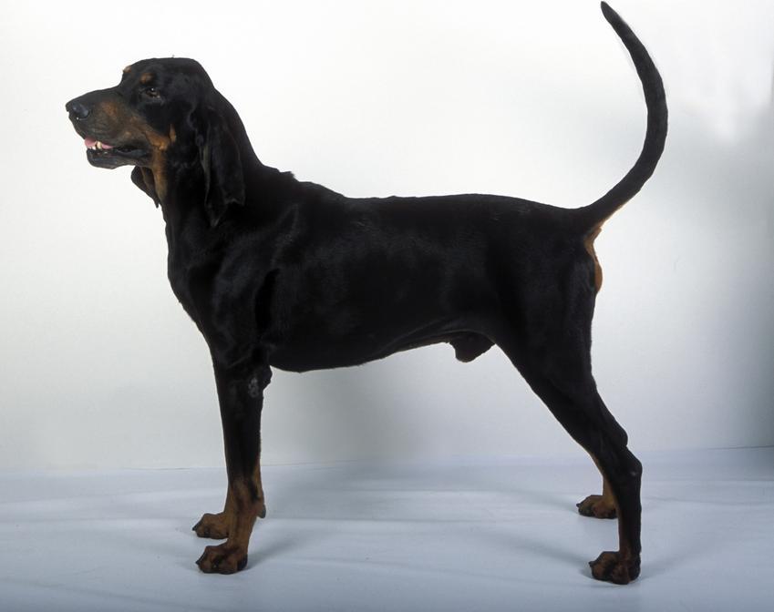 Pies rasy gończy austriacki na jasnym tle z profilu, a także jego charakter, hodowla i cena