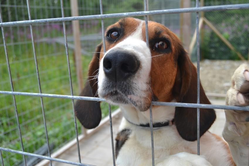 Pies rasy gończy fiński w klatce, a także jego charakter, cena za szczeniaki i hodowla