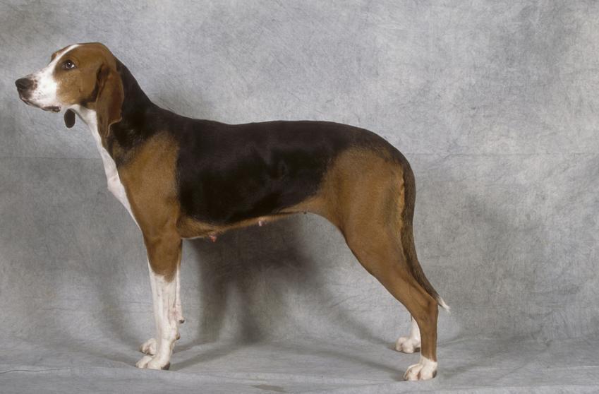 Pies rasy gończy fiński na jasnym tle z profilu, a także jego charakter, hodowla i cena