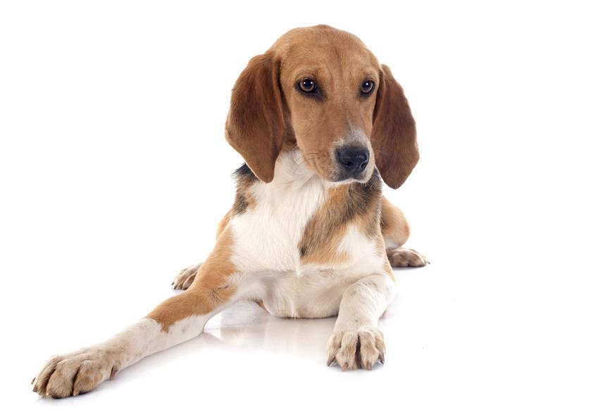 Pies rasy beagle harrier na jasnym tle z profilu, a także jego charakter, hodowla i cena