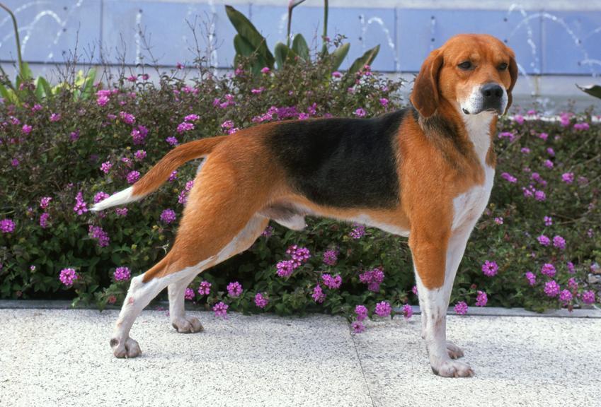 Pies rasy beagle harrier na tle zieleni, a także jego charakter, cena za szczeniaki i hodowla