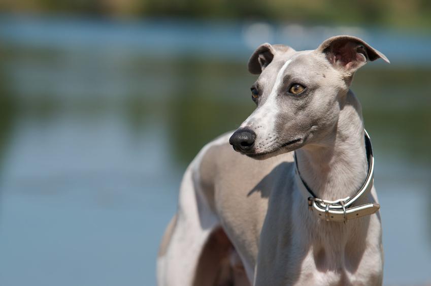 Pies rasy whippet na łonie natury, a także cena whippeta i hodowla whippeta w Polsce