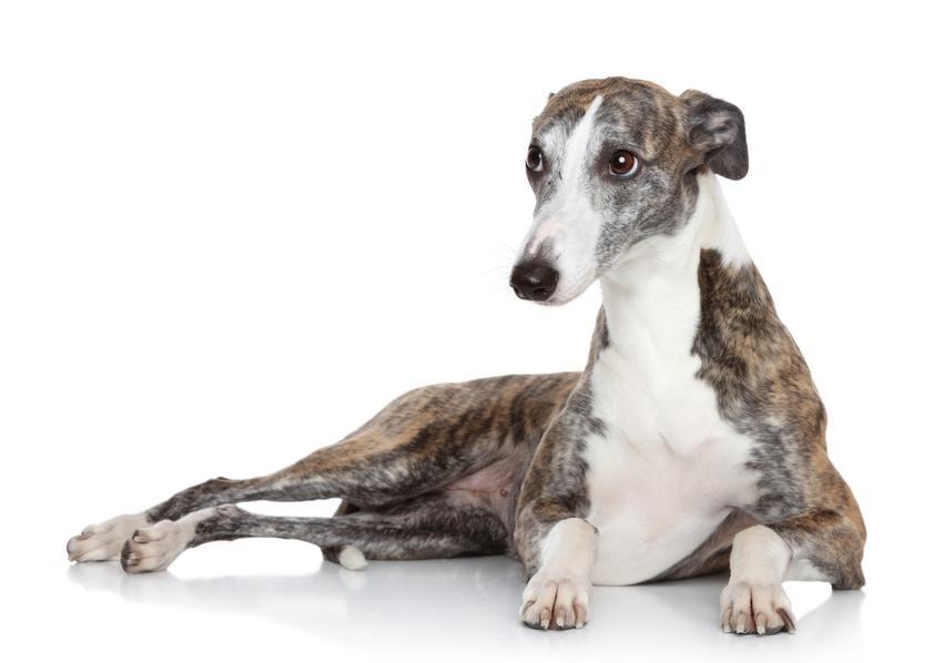 Pies rasy whippet na białym tle, a także cena whippeta za szczeniaki z rodowodem i hodowla whippeta w Polsce
