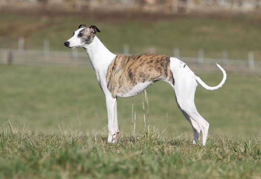Pies rasy whippet na tle zieleni, a także cena whippeta za szczeniaki z rodowodem i hodowla whippeta w Polsce