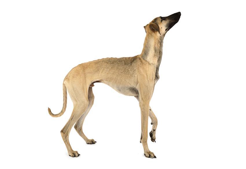 Pies rasy chart arabski, sloughi na jasnym tle z profilu, a także jego charakter, hodowla i cena