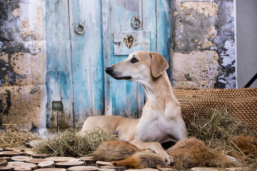 Pies rasy chart arabski, sloughi na portrecie, a także jego charakter, cena za szczeniaki i hodowla