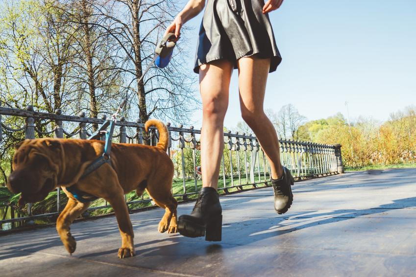 Pies na smyczy automatycznej podczas spaceru, a także smycz automatyczna rozwijana i zwijana