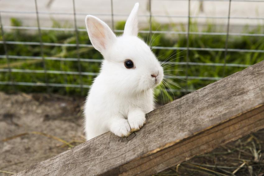 Mały biały królik w klatce, czyli jak zrobić klatkę dla królika i królików hodowlanych