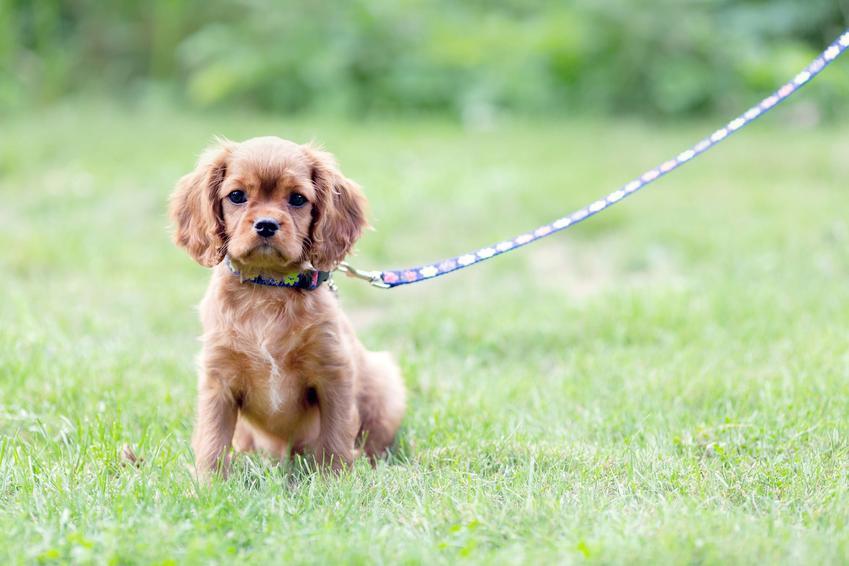 Mały pies w obroży i na smyczy na trawie, a także szelki czy obroża dla szczeniaka i dużego psa