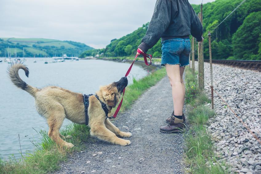 Pies w szelkach podczas spaceru, a także porady, szelki czy obroża dla psa