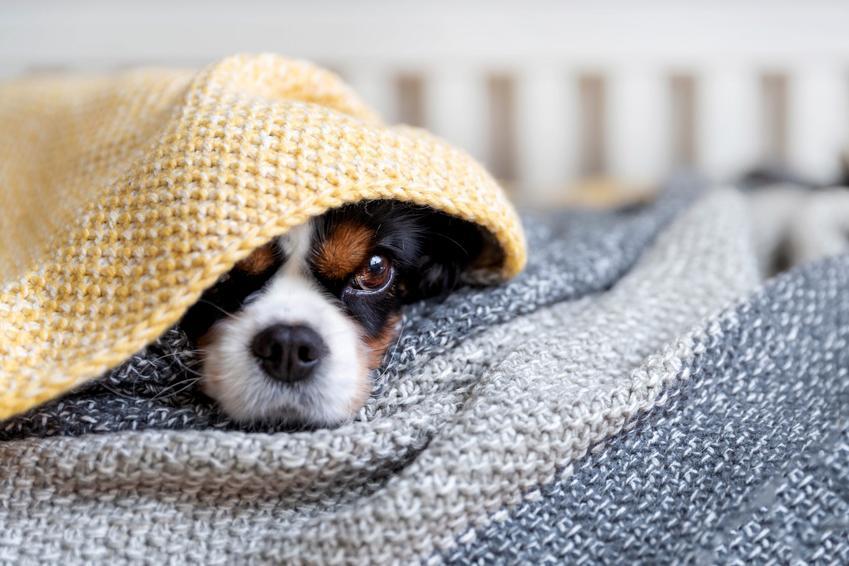 Pies przykryty kocem, a także polecany koc dla psa, porady zakupowe, jaki wybrać