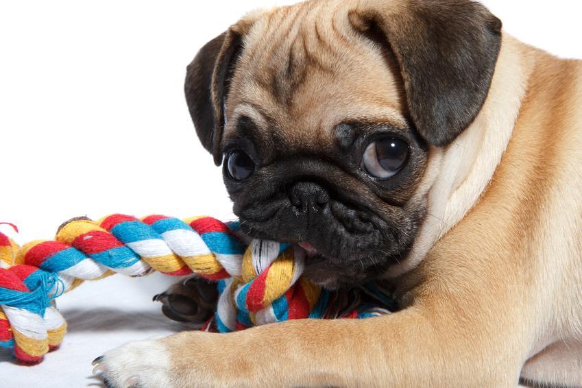 Buldog bawiący się gryzakiem, a także naturalny gryzak dla psa i inne rodzaje