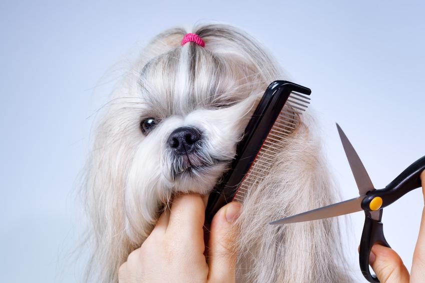 Pies na jasnym tle podczas strzyżenia nożyczkami oraz strzyżenie psa w domu