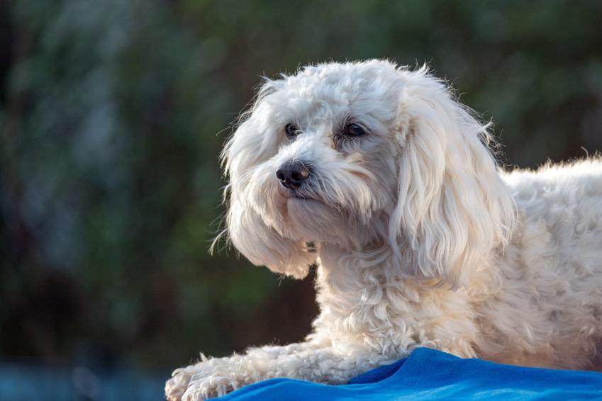 Pies rasy maltipoo na tle zieleni, a także hodowla maltipoo i cena za szczeniaki