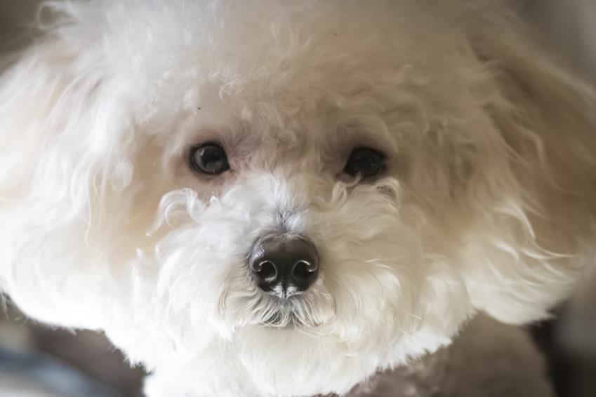 Pies rasy maltipoo patrzący w obiektyw, a także charakter maltipoo, usposobienie i cena