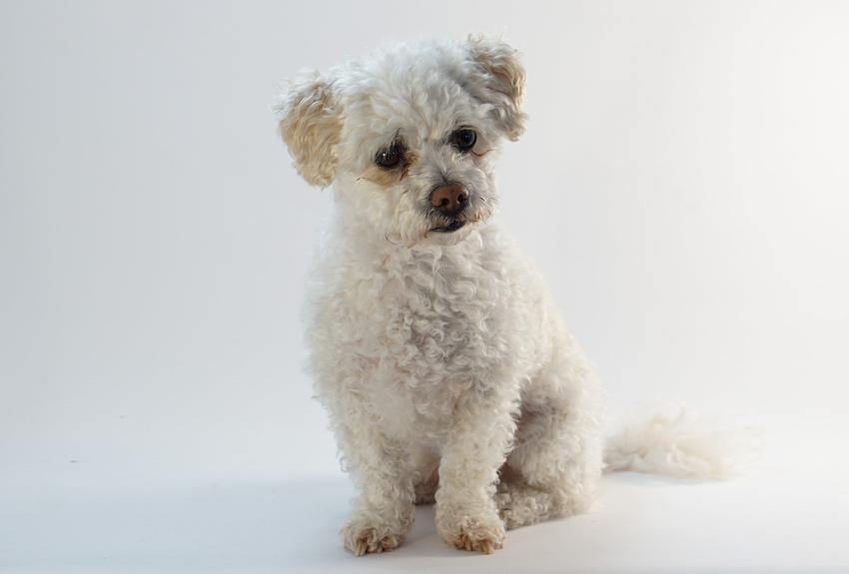 Pies rasy maltipoo na białym tle oraz charakter maltipoo, usposobienie i hodowla