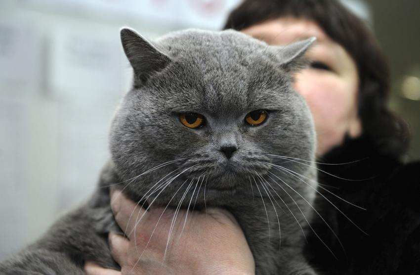 Kot brytyjski trzymany na rękach przez kobietę, a także hodowla kotów brytyjskich