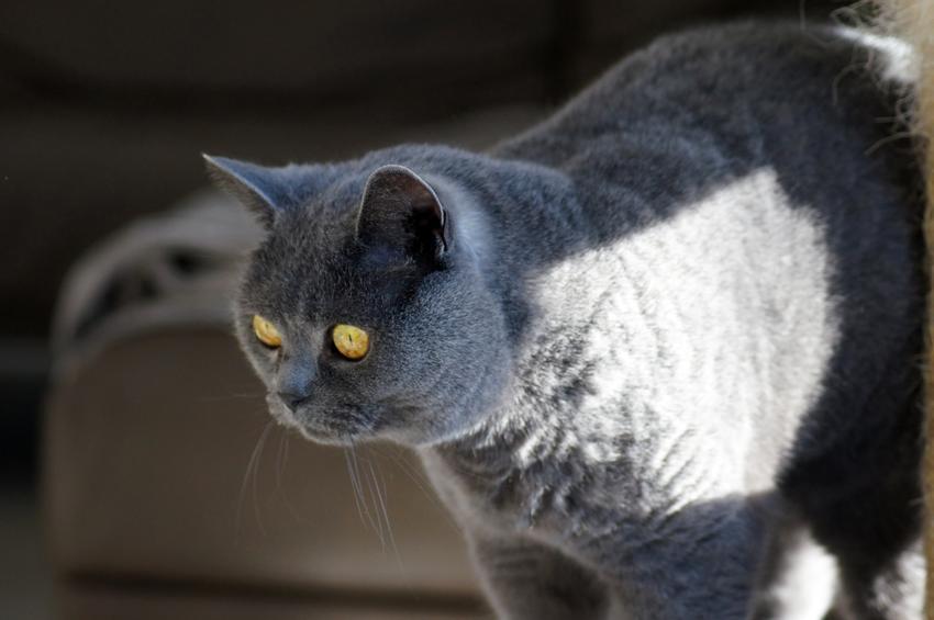 Kot brytyjski bawiący się w domu oraz polecana hodowla kotów brytyjskich w Polsce