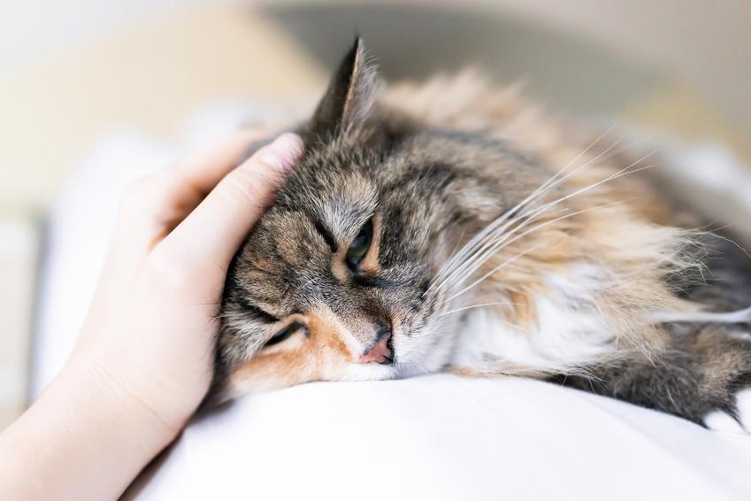 Chory kot głaskany przez właściciela, a także zapalenie jelit u psa i kota, objawy, leczenie, domowe sposoby
