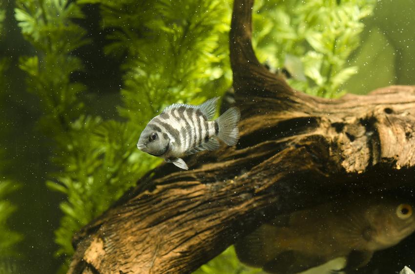 Rybka a akwarium na tle korzenia, a także mętna woda w akwarium i porady, co zrobić