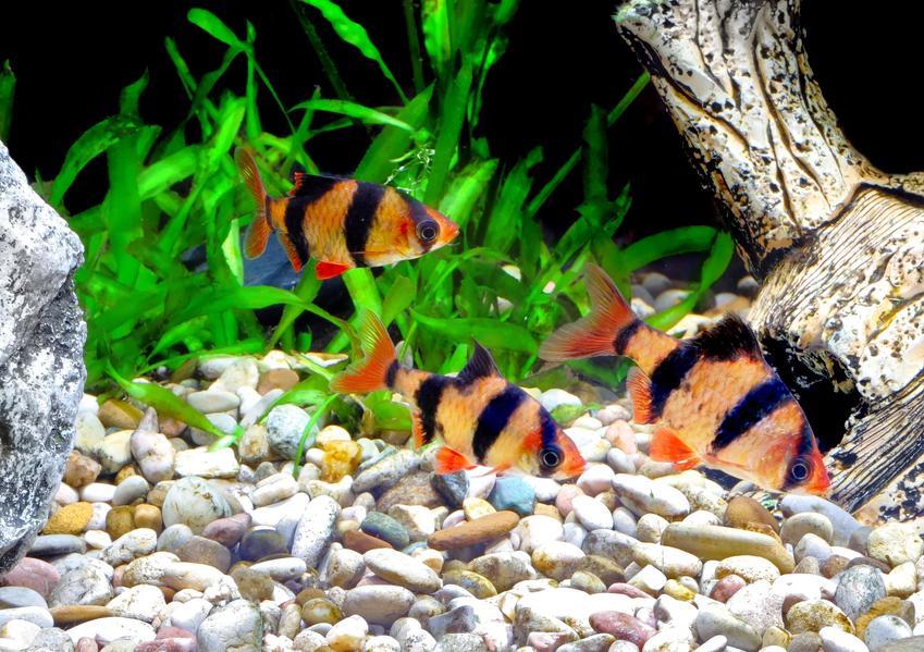 Rybki z akwarium na tle kamyczków, a także podłoże do akwarium dla ryb i dla roślin