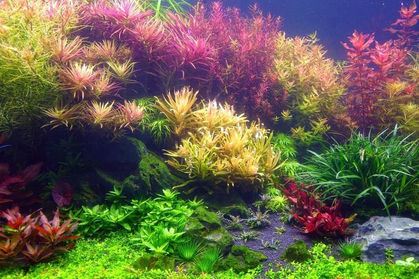 Kolorowe rośliny akwariowe, a także akwarium holenderskie, jego zakładanie i porady