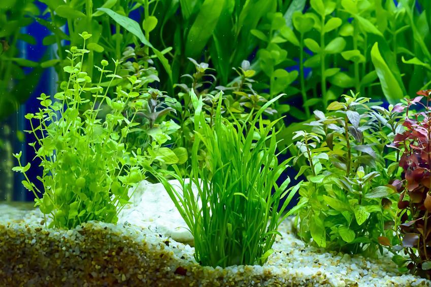 Ciekawe rośliny w akwarium, a także akwarium holenderskie, jego plan i zakładanie