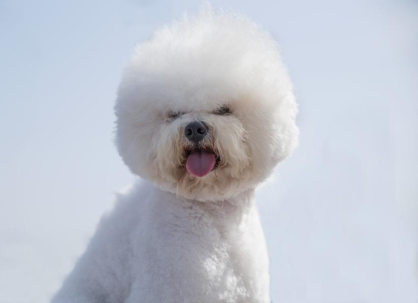 Pies rasy biszon frize na białym tle, a także najlepsza hodowla bichon frise w Polsce