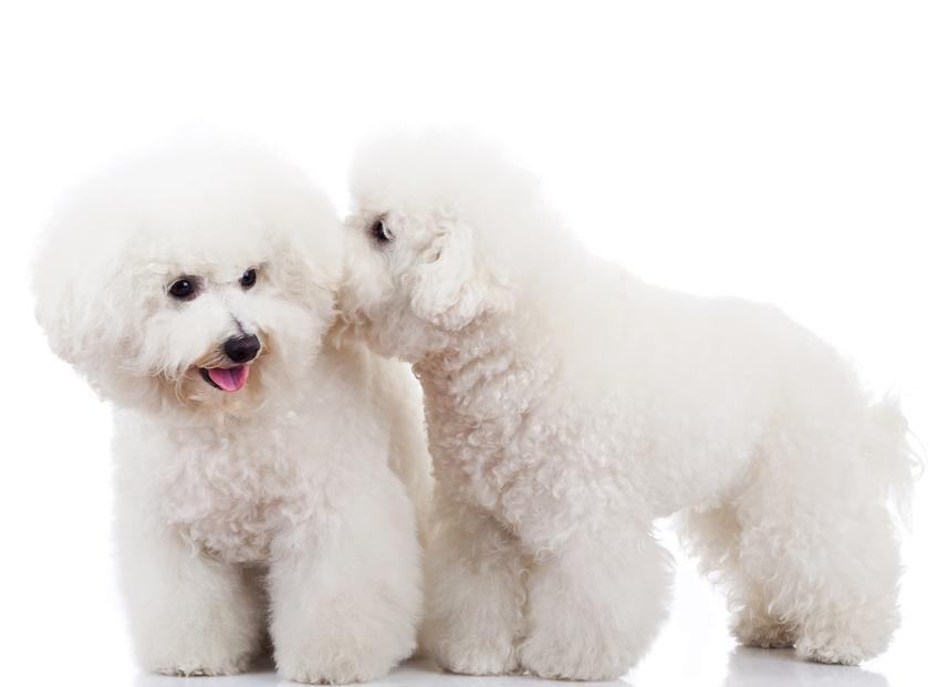 Dwa małe psy rasy biszon frize oraz polecana hodowla bichon frise w Polsce