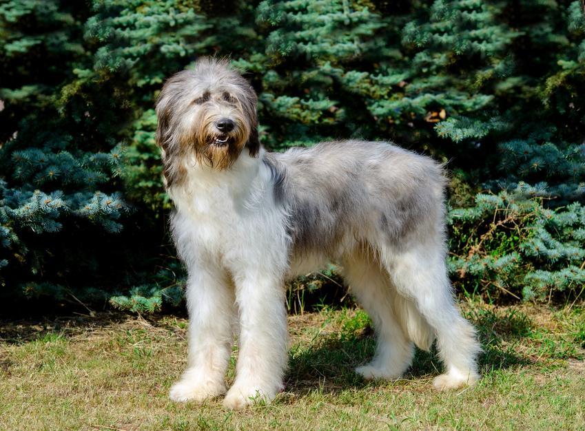 Pies rasy owczarek rumuński Mioritic, Romanian Raven Shepherd Dog na tle drzew,a także jego usposobienie, cena, hodowla i opinie