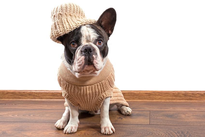 Buldog francuski w sweterku i czapce na białym tle oraz ubranka dla buldoga francuskiego