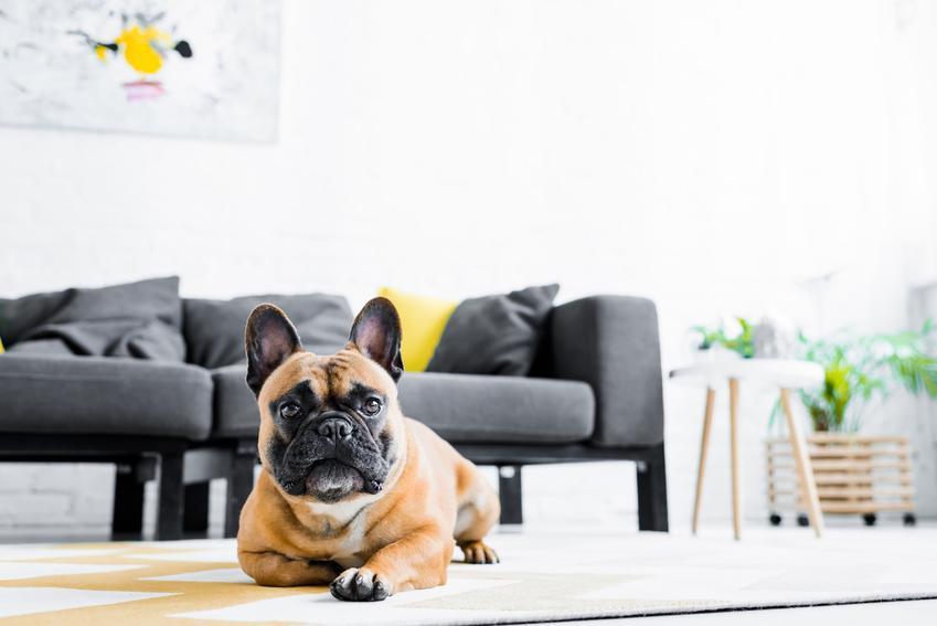 Pies rasy buldog francuski leżący na podłodze, a także opinie o buldogu francuskim