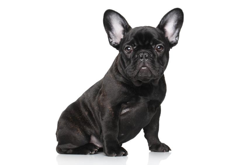 Pies rasy czarny buldog francuski na białym tle, a także jego charakter i cena