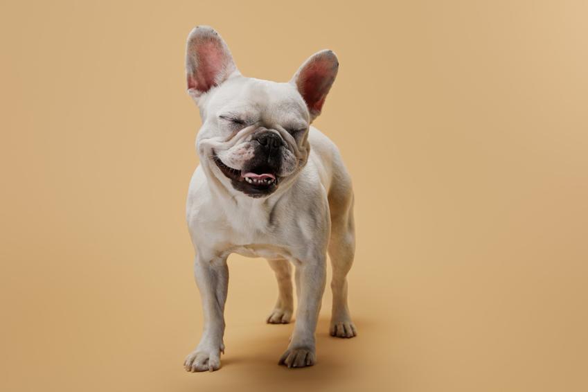 Pies rasy buldog francuski na beżowym tle, a także usposobienie i charakter buldoga francuskiego