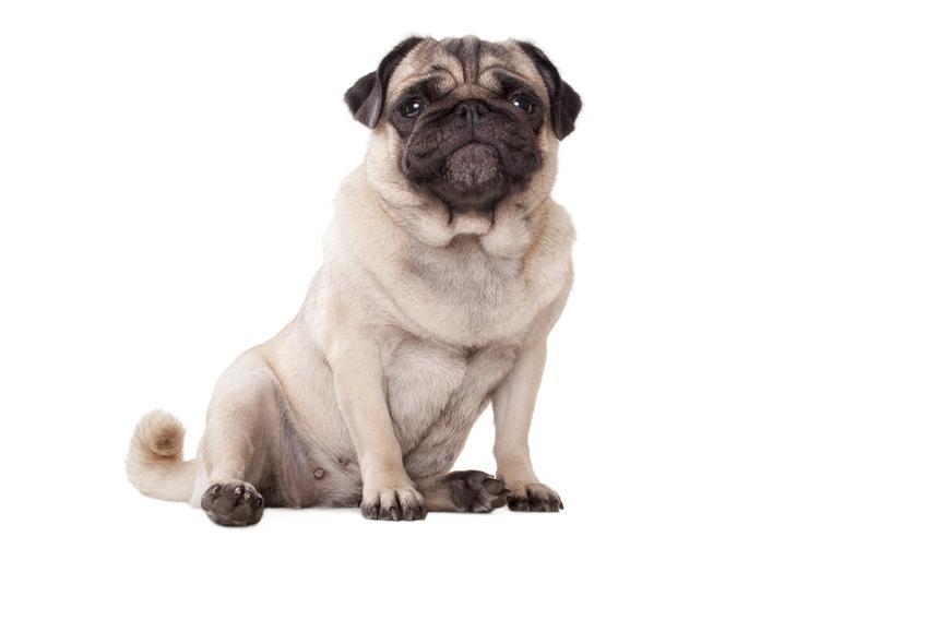 Pies rasy mops na białym tle, a także mops miniaturka, istnienie rasy i porady