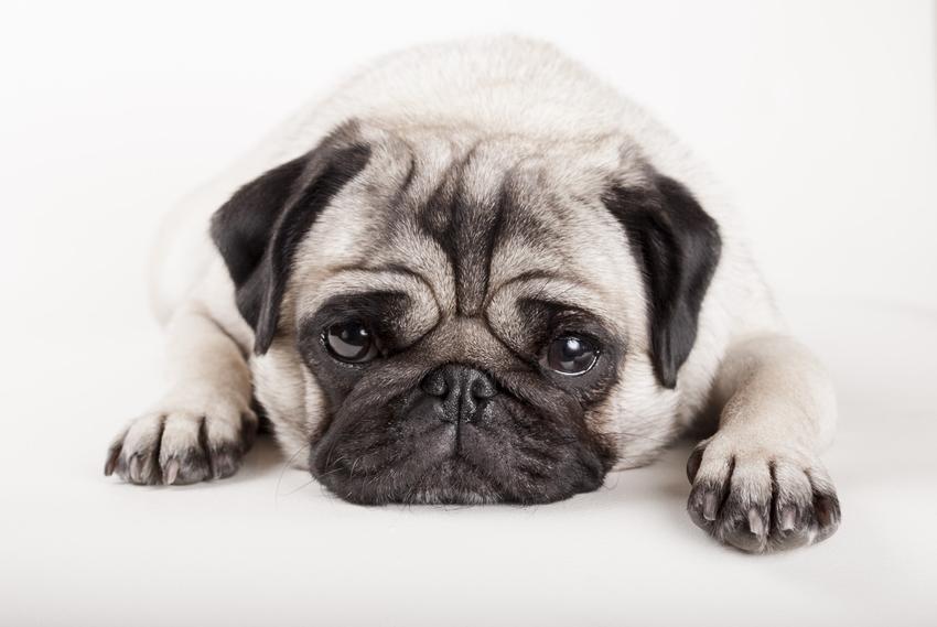 Pies rasy mops leżący na podłodze, a także mops miniaturka, istnienie i charakter