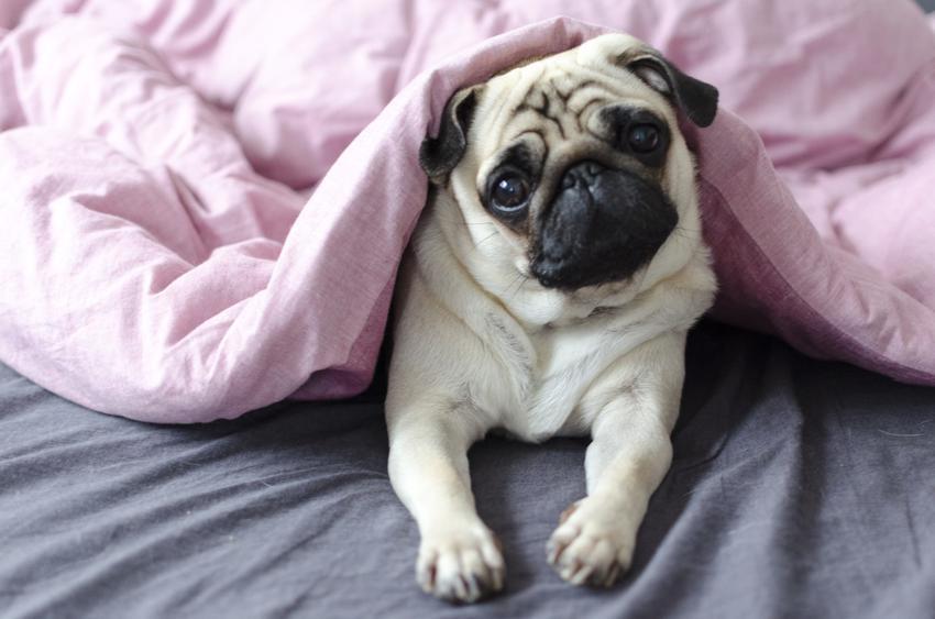 Pies rasy mops pod różową kołdrą, a także długość życia mopsów i ile żyją mopsy