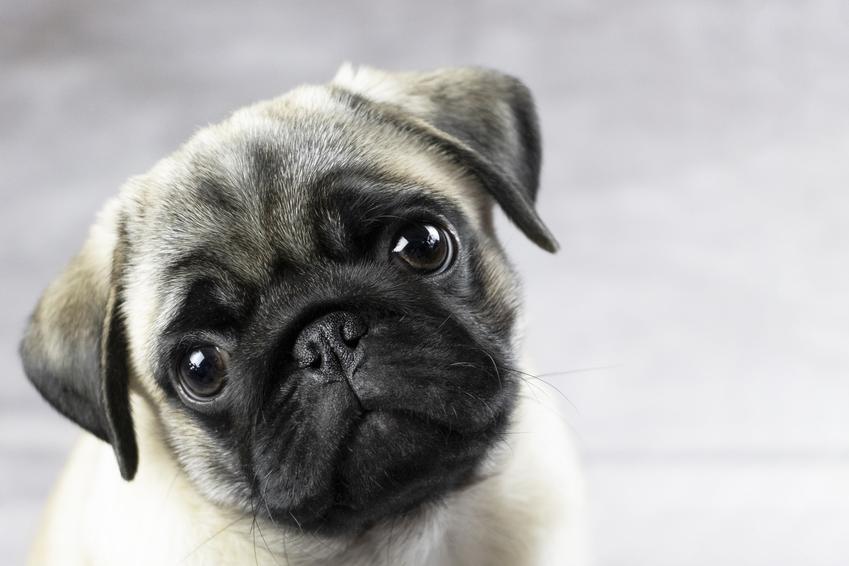 Pies rasy mops na zdjęciu portretowym, a także długość życia mopsów i ile żyją mopsy