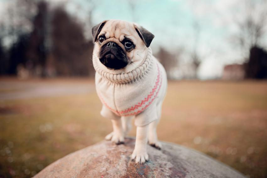 Pies rasy mops w sweterku podczas spaceru, a także hodowla mopsa w Polsce